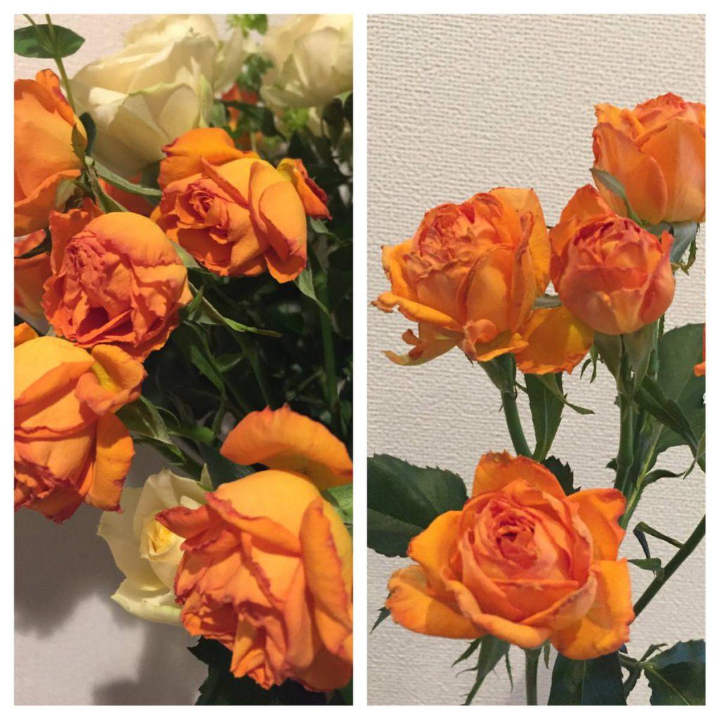 「しおれたバラを復活させる」実録・もらった切り花を水揚げで元気にしました。